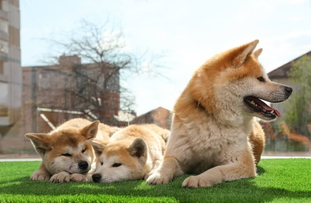 Adorable-Akita-Inu-Dog-And-Pup